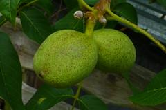 Die Walnuss schlechthin (blasjaz) Tags: plant pflanze pflanzen frucht baum frchte botanik walnuss juglandaceae juglansregia blasjaz