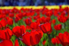 Tulips (arthur_streltsov) Tags: moscow parkpobedy москва паркпобеды notgeotagged colorsinourworld coloursinourworld yourbestoftoday