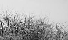 Dune Grass (judith511) Tags: bw beach seeds dunegrass naturethroughthelens