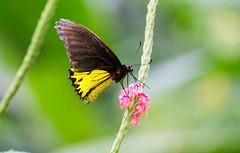 Sweet Nectar (saish746) Tags: flower butterfly garden suck zoo flora bokeh butter malaysia nectar kuala kualalumpur kl lumpur negara