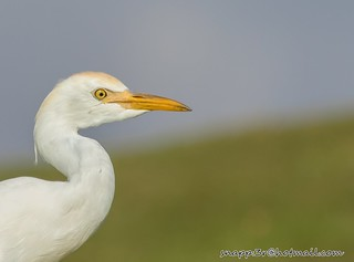 Cattle Egret Close up
