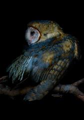 Lechuza (Antonio Daz Photos) Tags: barn alba owl lechuza tyto tytonidae
