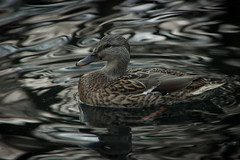 Duck (Ludvius) Tags: green water norway duck grimstad dmmesmoen ludovicophotography wwwludovicophotocom