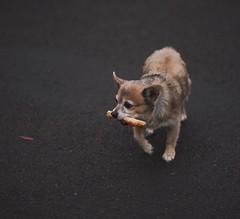 Pizza Scavenger (Jake Arciniega) Tags: portrait dog chihuahua oregon portland bokeh bad streetphotography 85mm pizza baddog pomeranian scavenger pomchi canon7d