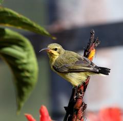 IMG_4268 (Dan Armbrust) Tags: australia queensland cannon australianbirds armbrust sunbirds danarmbrust