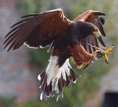 Harris Hawk, Escot House, Devon (Hammerhead27) Tags: uk bird eye hawk tail leg flight wing beak feather devon talon escot