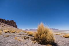 Paja brava (Festuca orthophylla) (Ralph Green) Tags: grass sand desert cliffs puna andesmountains bunchgrass pajabrava reservanacionallosflamencos salardetara festucaorthophylla drypuna