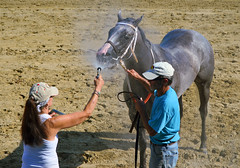2015-08-23 (94) r6 the pause that refreshes (JLeeFleenor) Tags: photos photography md marylandhorseracing marylandracing horses thoroughbreds equine equestrian cheval cavalo cavallo cavall caballo pferd paard perd hevonen hest hestur cal kon konj beygir capall ceffyl cuddy yarraman faras alogo soos kuda uma pfeerd koin حصان кон 马 häst άλογο סוס घोड़ा 馬 koń лошадь grey gray horsepeople maryland