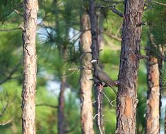 White-Crowned Pigeon 2 (MyFWCmedia) Tags: myfwc fwc myfwcmedia myfwccom fwri biology animal floridafishandwildlife florida fish wildlife conservation imperiledspecies imperiled threatened endangered whitecrownedpigeon