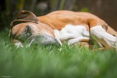 Soneca (Vinicius_Ldna) Tags: brazil dog pet verde green love grass canon 50mm catnap grama nina doze sono londrina gramado soneca cochilo 10355