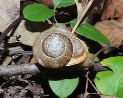 Patera perigrapta (Engraved Bladetooth) (Turtlerangler) Tags: kentucky snail rockcastle patera