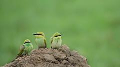 Green Bee-eaters (Brainstuck) Tags: india green bird village bokeh farm meropsorientalis haryana greenbeeeater faridabad palwal anshulmaheshwari