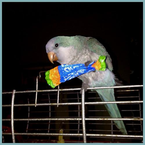 Chocoholic parrot