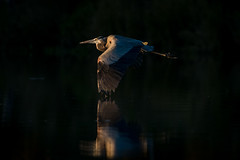 Light Blue (gseloff) Tags: sunset reflection bird texas wildlife pasadena greatblueheron bif kayakphotography gseloff horsepenbayou
