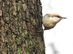 BHNU_2015c (Surfishrink) Tags: virginia salem brownheadednuthatch sittapusilla