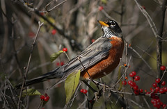 Posing Berry Nicely (jrussell.1916) Tags: red orange nature birds morninglight berries wildlife americanrobin shawneemissionpark canon400mmf56lusm