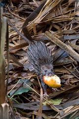 Lagan Inhabitant  [Explore] (Eskling) Tags: brown rat belfast towpath lagan rattus norvegicus