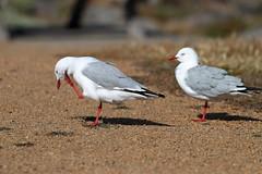 Silver Gulls (blachswan) Tags: australia victoria portfairy silvergull griffithsisland silvergulls
