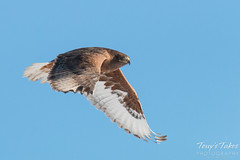 Dark Morph Ferruginous Hawk in flight