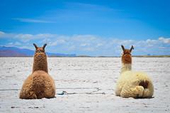 Caravana de Llamas (www.obstinato.com.ar) Tags: de salinas grandes sombrilla llamas almuerzo salta jujuy picada caravana expedicin excursin