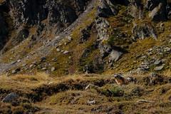 Marmot (stijn) Tags: parconazionalegranparadiso europe murmeltier marmot valledaosta italia italy