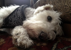 Daisy, needs her rest. 24 (4s) (Mega-Magpie) Tags: iphone 4s indoors dog puppy cute miniature schnauzer sleep rest lazy