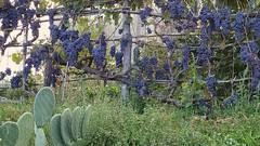 . (Marco Tiano) Tags: wine grappoli vino autunno autumn october 2016 colors viola purple italy calabria