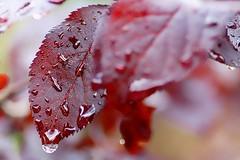 *** (pszcz9) Tags: polska poland przyroda nature natura zbliżenie closeup liść leaf kropla raindrop bokeh beautifulearth sony a77