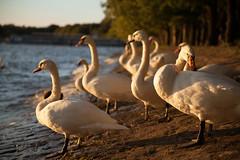 IMG_0280.jpg (Voto.) Tags: naturrume vgel ufer schwan fauna tegelersee orte geografie