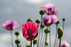 """Summer Days"" (AndyorDij) Tags: opiumpoppy papaversomniferum bokeh plants flowers gardens empingham england rutland uk unitedkingdom 2016 summer poppies"