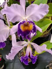 Beauty (Thad Zajdowicz) Tags: orchid flower 365 366 sanmarino california zajdowicz cellphone photoshopexpress availablelight indoor inside flora plant