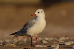 Mon bon profil ? (rocailles) Tags: gull portrait beach sea mer mouette plage
