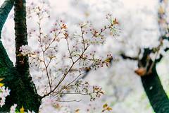Hana () Tags:      japan tokyo shinjukugyoen sonya7 zeissbatis85mmf18 hanami sakura