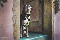 41/52 - peeking out... (yookyland) Tags: 52weeksfordogs jasper 2016 4152 dog door stucco wall turquoise pink yellow