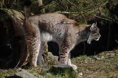 Lynx - all mine now! (dididumm) Tags: eurasianlynx lynxlynx spraying markieren eurasischerluchs ifiranthezoo