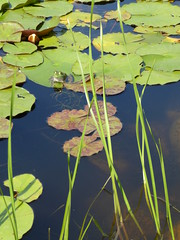 Wheaton, IL, Cantigny Park, Idea Garden, Frog and Lily Pads (Mary Warren (7.4+ Million Views)) Tags: wheatonil cantignypark ideagarden nature flora fauna green plants waterlilies lilypads frog
