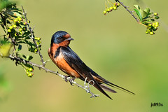 Barn Swallow (male) (jt893x) Tags: 150600mm barnswallow bird d500 hirundorustica jt893x male nikon nikond500 sigma sigma150600mmf563dgoshsms swallow specanimal