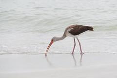 (yan.cabrera) Tags: d750 nikon playa ave shore brach bird ibis