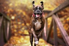 Autumn fun (Tams Szarka) Tags: dog pet animal puppy boxerdog boxer outdoor nature forest autumn funny fun nikon strawberry