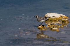 Bergeronnette grise (Motacilla alba) (yann.dimauro) Tags: miribel ain animaux faune jonage lac oiseau ornithologie rhone yanndimauro étang