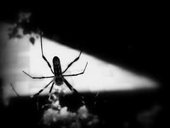 ジョロウグモ① (ebi-katsu) Tags: canon ixy 930is ジョロウグモ 女郎蜘蛛 spider spidersweb nephilaclavata 蜘蛛 蜘蛛の巣 クモ spidersilk