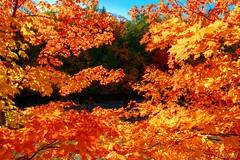 161011-11 Window leafs (clamato39) Tags: parcchauveau villedequbec provincedequbec qubec canada autumn automne nature wild feuilles leafs arbre tree