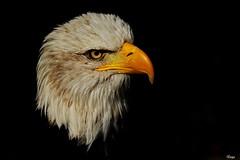 Weißkopfseeadler (Rolf Piepenbring) Tags: baldeagle weiskopfseeadler adler britishdays