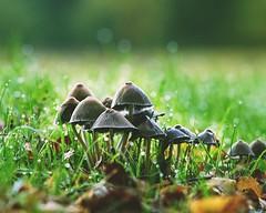 We are family... (markus.homann) Tags: mushroom cologne morning morningsun morningdew dew green grass autumn sunset light sun nikkor10525