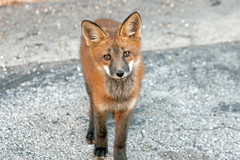 Will you be my friend? (marylee.agnew) Tags: red fox cute kit young curious friend wildlife urban nature canine mammal love
