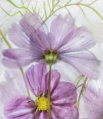 Frozen cosmos (Mandy Disher) Tags: cosmos frozen ice