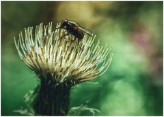 (***toile filante***) Tags: fly fliege macro dof bokeh plant pflanze nature natur insect insekt