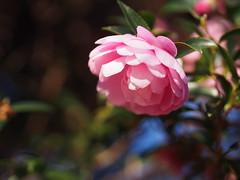 山茶花 (Polotaro) Tags: mzuikodigital45mmf18 flower nature olympus epm2 pen 花 自然 オリンパス ペン サザンカ 11月