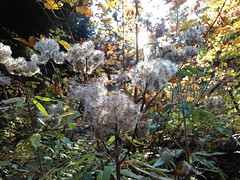 Day light saving time is gone - Fall is there (6 x 9 = 42) Tags: distel oberursel thistle fall herbst fairphone