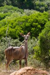 DSC02672.jpg (ChrMous) Tags: tamronsp150600mmf563 southafrica grotekoedoe zuidafrika zoogdieren sonyslta99 animals 2016 easterncape addoelephantnationalpark greaterkudu tragelaphusstrepsiceros